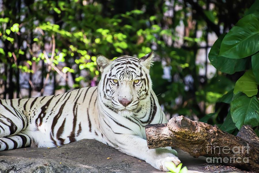 Bengal White Tiger Lying On The Rock Photograph by Wachirawit Jenlohakit