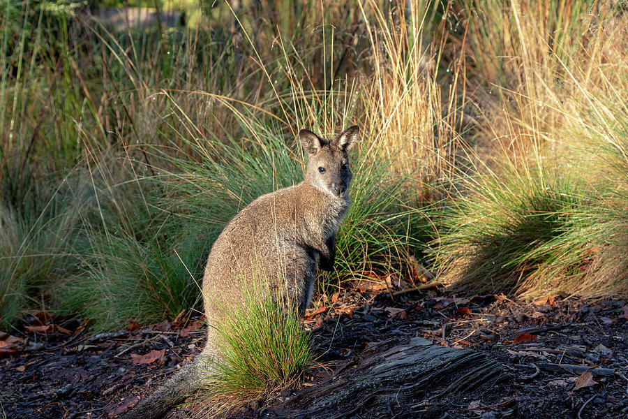 Bennetts Wallaby by Sean Davey