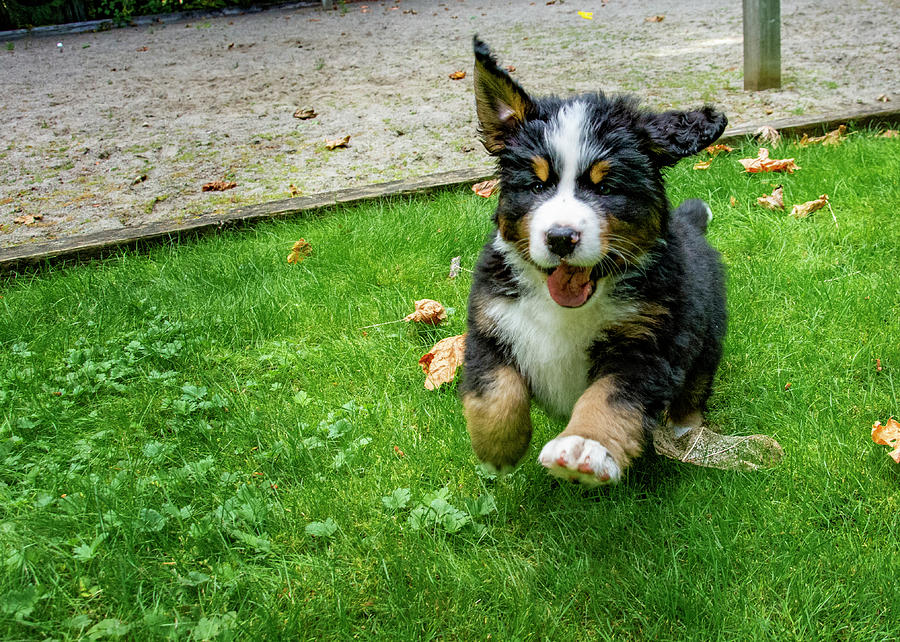 Bernese Mountain Dog Puppy Running