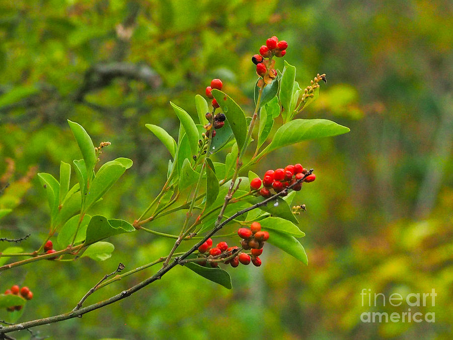 Berries For Wildlife Photograph