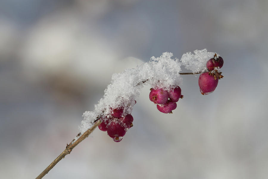 Berries Photograph - Berry Snowy  by Peri Ann Taylor