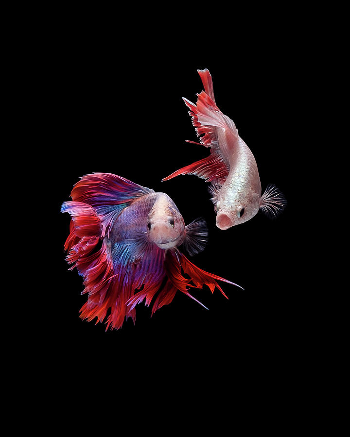 Animal Photograph - Betta0093 by Bang Yos