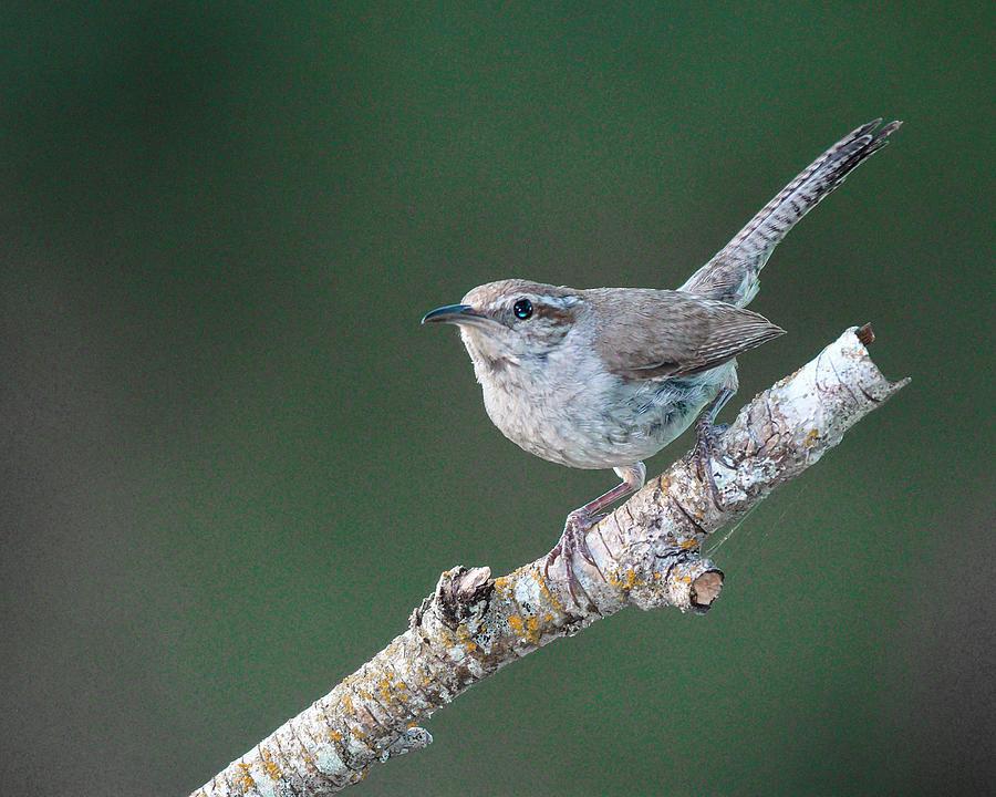 Bewicks Wren - North American wild songbird by Philip Duff