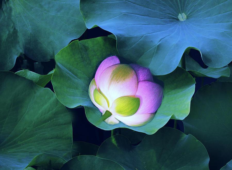 Lotus Photograph - Nestled Lotus Blossom by Jessica Jenney