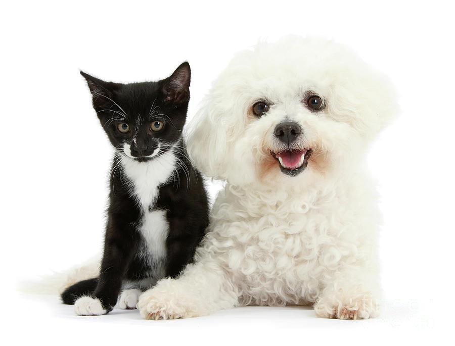 Bichon and Tuxedo Kitten Friend by Warren Photographic