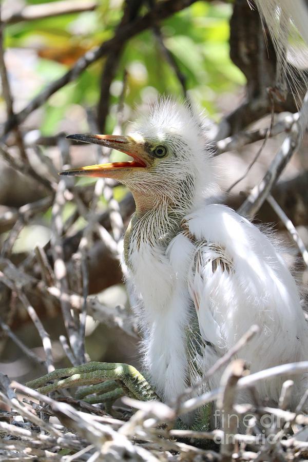 Big Baby Great Egret by Carol Groenen