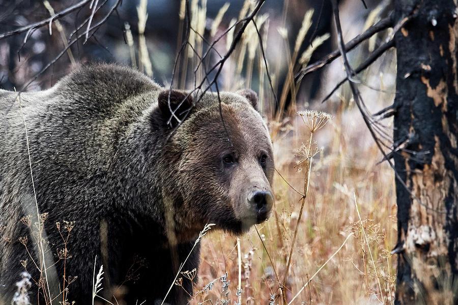 Grizzly Photograph - Big Bear by Paul Freidlund