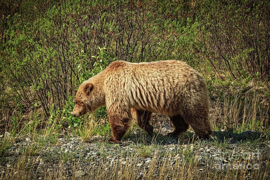 Alaska Photograph - Big Brown by Robert Bales