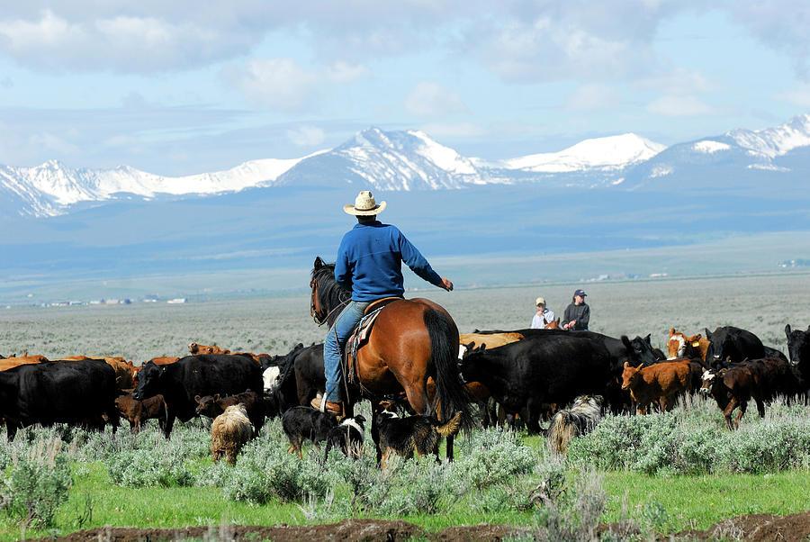 Big Cattle Drive Photograph by Cgbaldauf