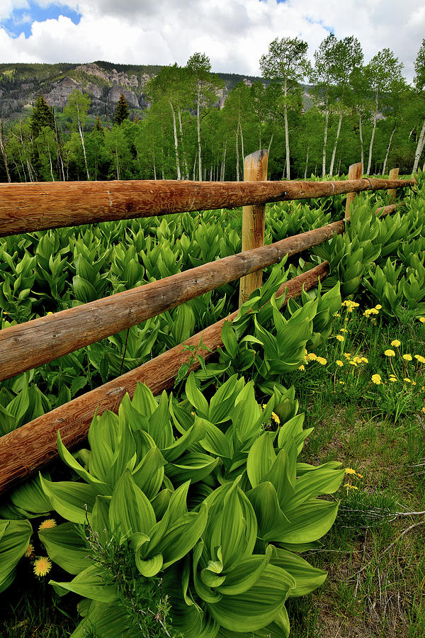 Big Cimarron Fence Lined with Skunk Cabbage by Ray Mathis