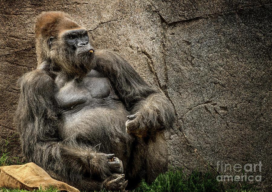Big Daddy Silverback Gorilla by Julian Starks