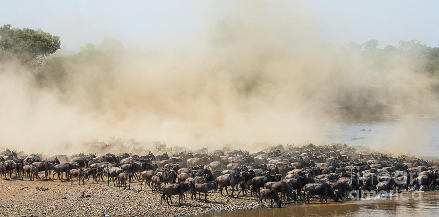 Jumping Photograph - Big Herd Of Wildebeest Is About Mara by Gudkov Andrey