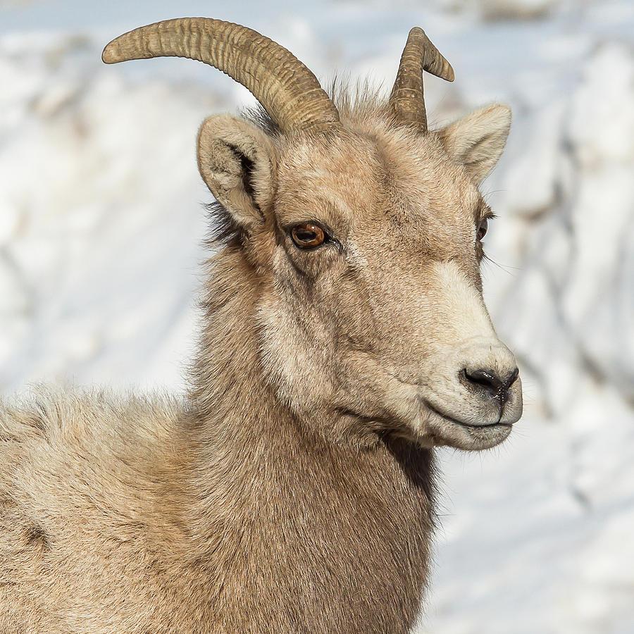 Big-Horn Ewe by Yeates Photography