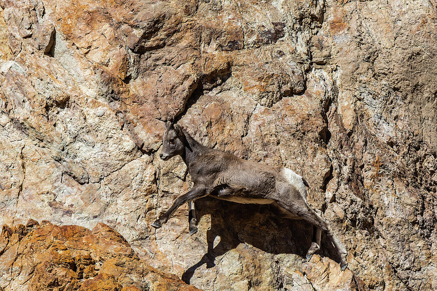 Big Horn Mountain Sheep Kid by Stephen Johnson