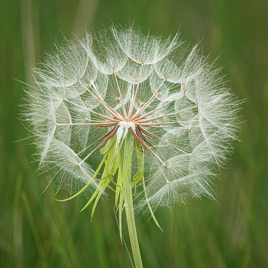 Big 'Ole Dandelion by Gary Lengyel
