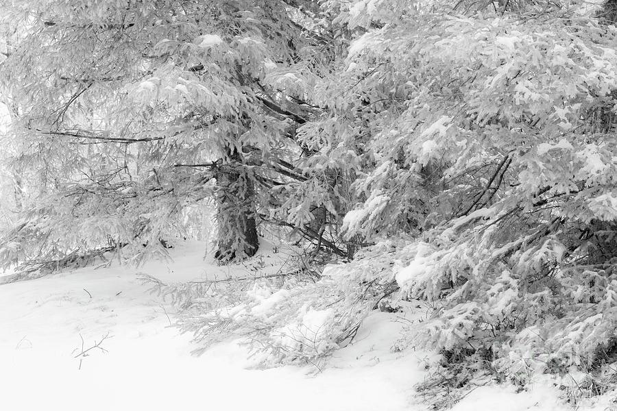 Nature Photograph - Big Pine Monochrome by Sharon Mayhak