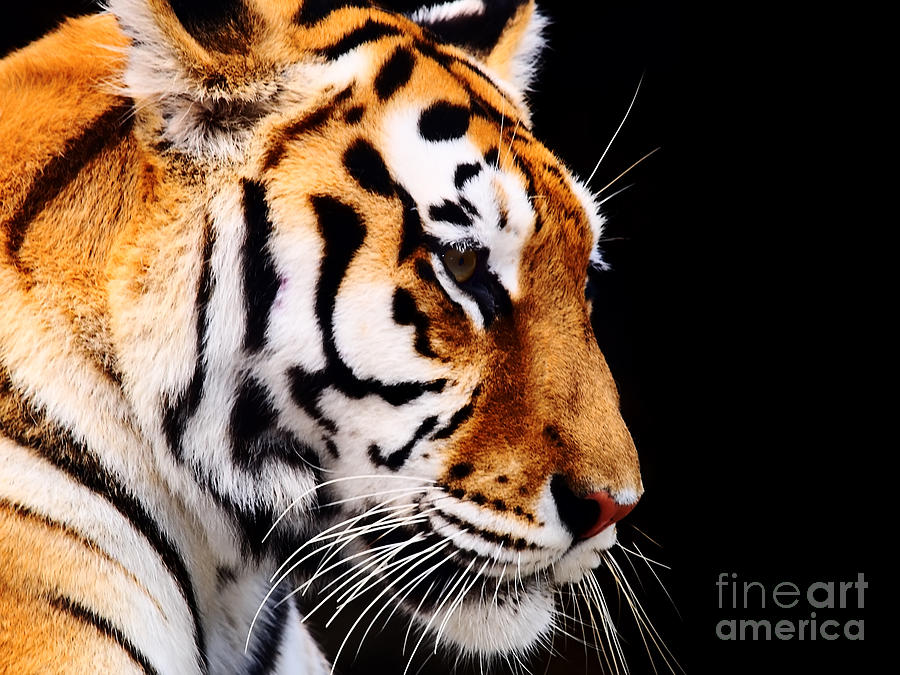 Big Photograph - Big Tiger On A Black Background by Anp