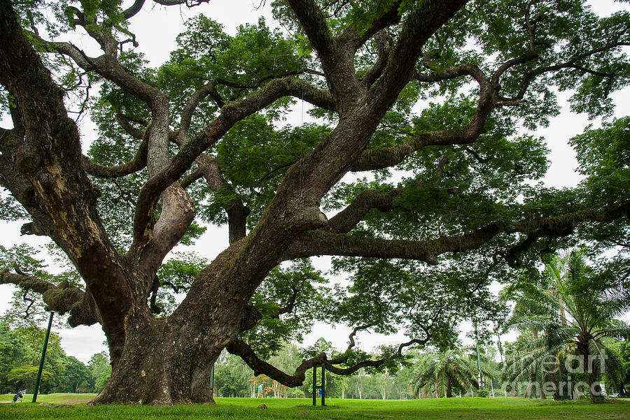 Big Photograph - Big Trees State Park by Wanwisa Pimsoda