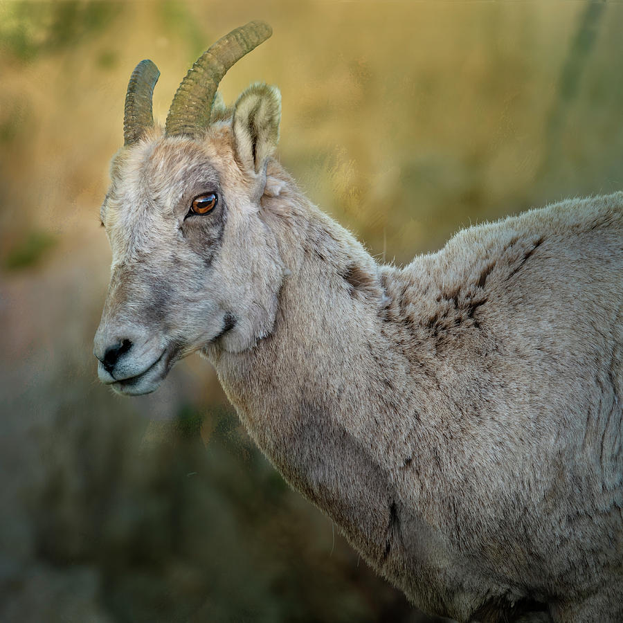 Bighorn Ewe by Joan Carroll