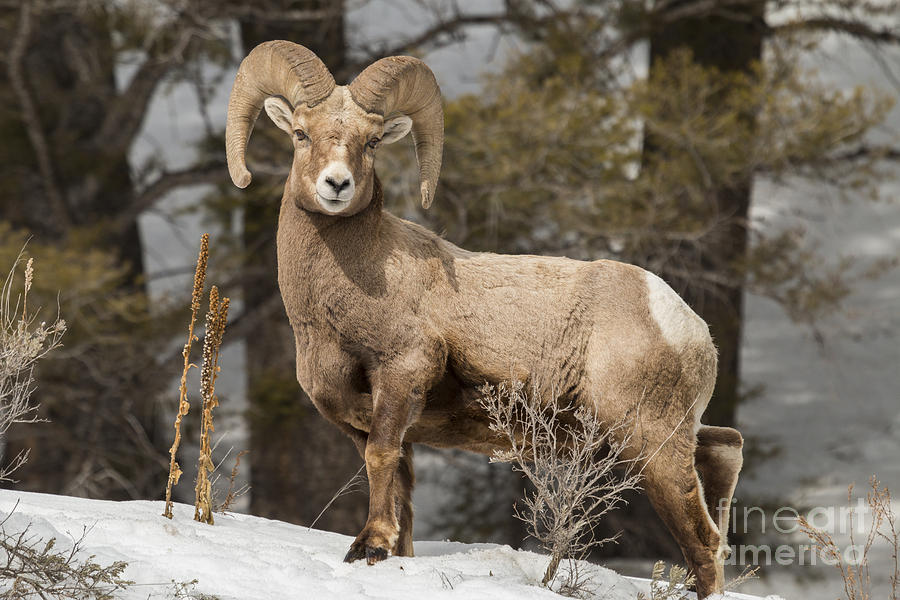 Forest Photograph - Bighorn Ram Feeding By Quake Lake by Michelle Holihan