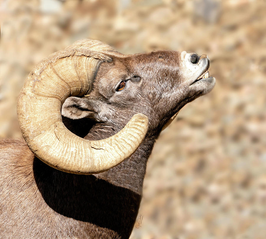 Bighorn Ram Portrait by Judi Dressler