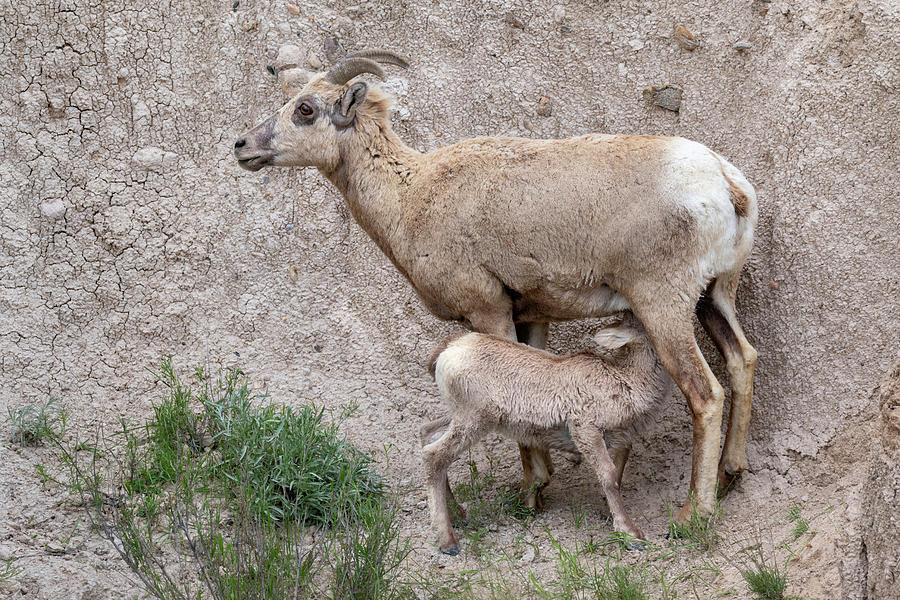 Animal Photograph - Bighorn Sheep Ewe Nursing Lamb by Ivan Kuzmin