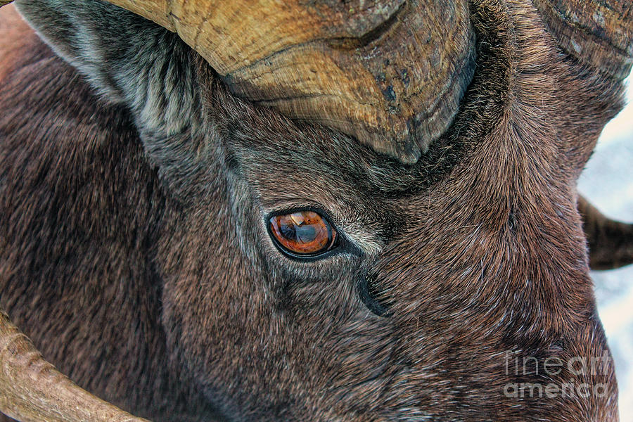Bighorn sheep ram Ovis canadensis Jasper Alberta by Robert C Paulson Jr