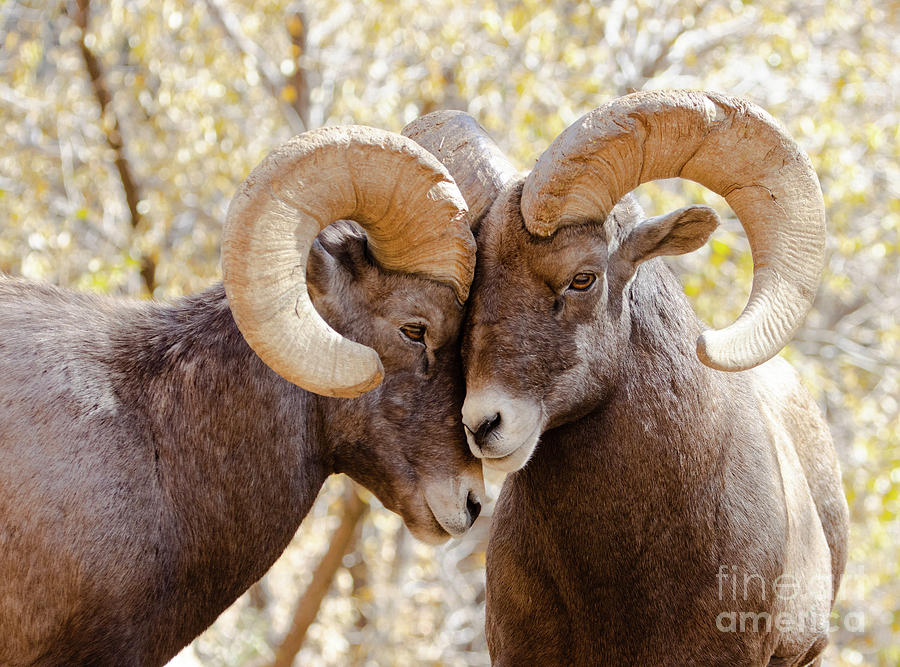 Bighorn Sheep Sparring In Waterton Canyon Photograph