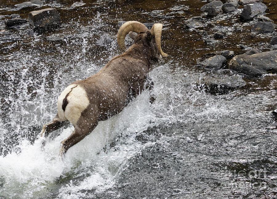 Bighorn Sheep Splashing In The Platte River Photograph