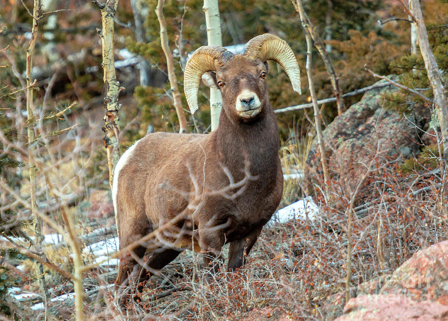 Bighorns In The Morning Photograph