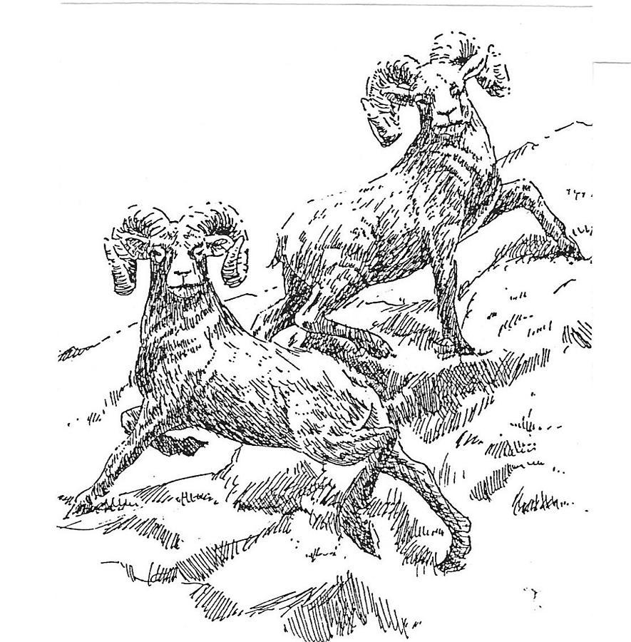Bighorn Sheep Drawing - Bighorns by Kevin Heaney