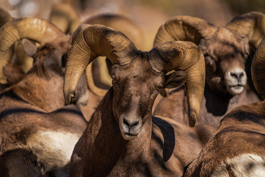 Bighorns Resting in the Afternoon Sun by Gary Kochel