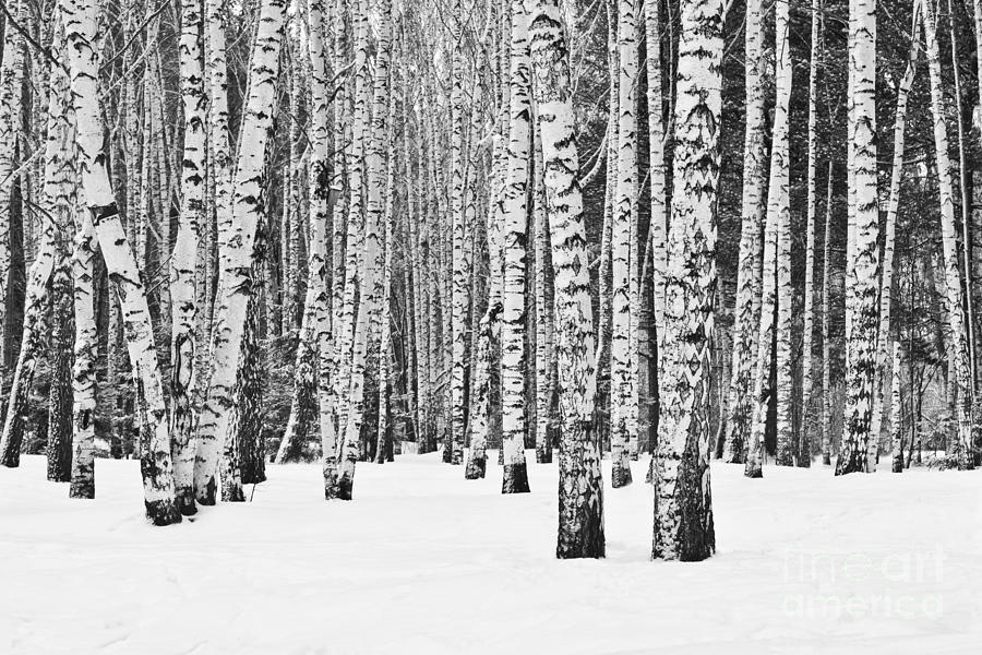 Country Photograph - Birch Forest In Winter In Black And by Furtseff