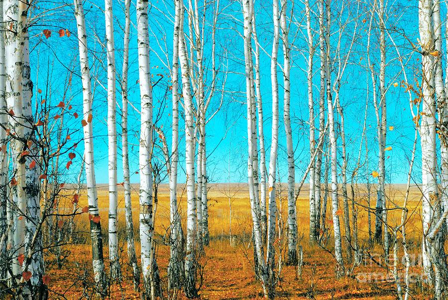 Forest Photograph - Birch Grove by Vangert
