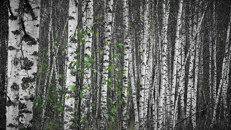 Birch sadness. Sunychne, 2018. by Andriy Maykovskyi
