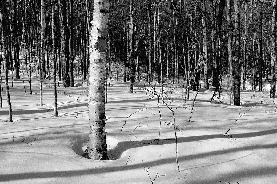 Birch Shadow. by Jeff Sinon