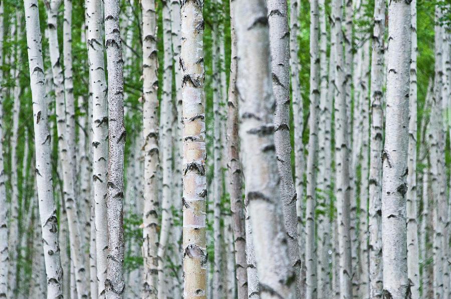 Birch Tree Forest, Hokkaido, Japan Photograph by Thomas Pickard