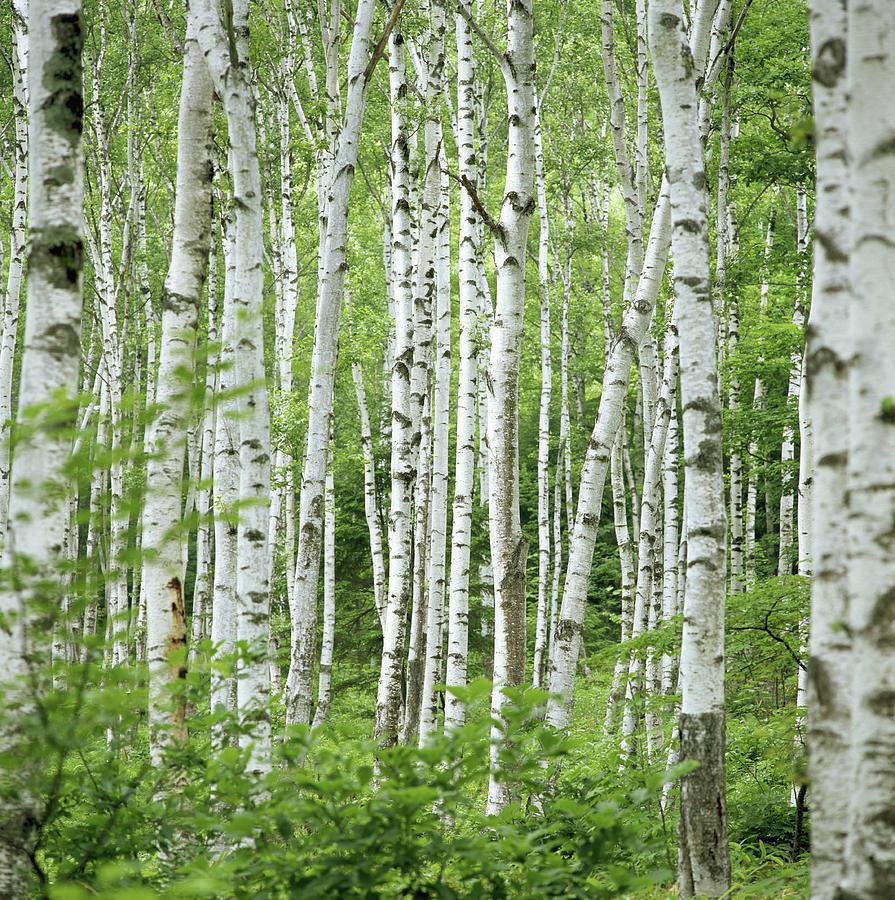 Birch Trees Betula Sp., Summer Photograph by Shunsuke Yamamoto Photography