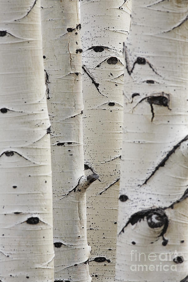 Silver Birch Tree Photograph - Birch Trees In A Row Close-up Of Trunks by Sirtravelalot