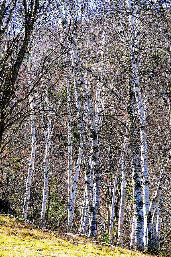 Birch Trees - Tannersville, NY by Tom Romeo