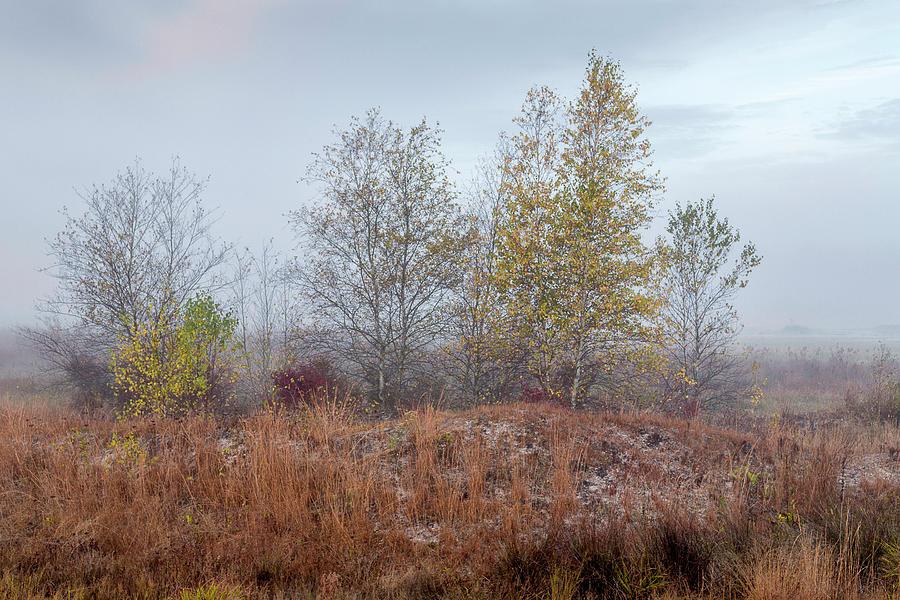 Birches by Charles Aitken