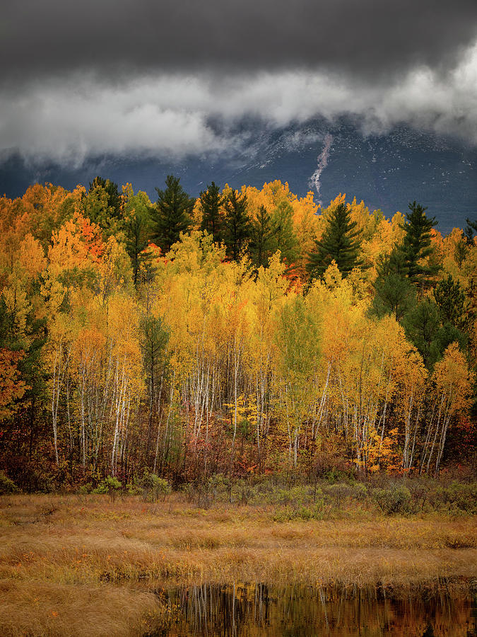 Birches in Yellow by Colin Chase