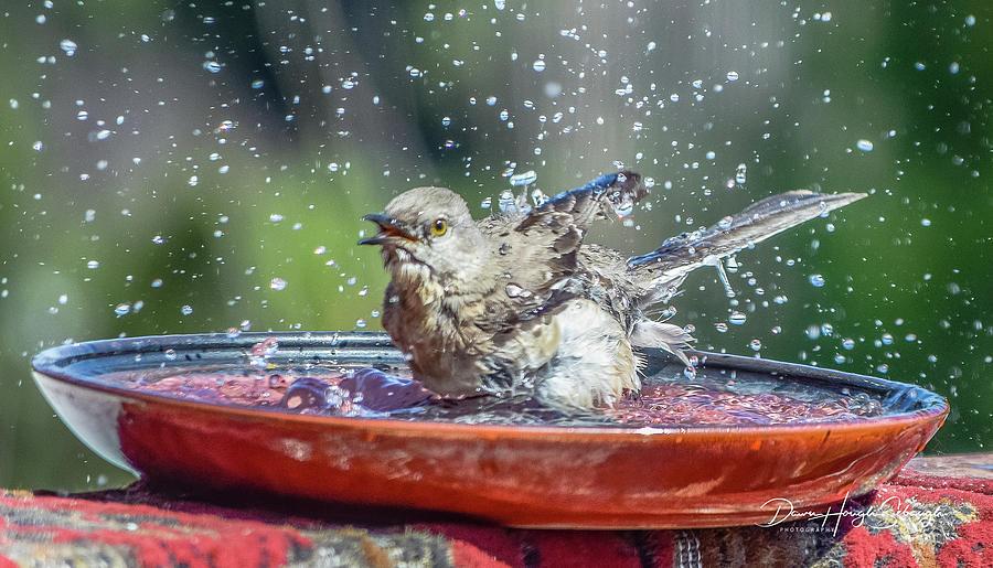 Mockingbird Photograph - Bird In A Bath by Dawn Hough Sebaugh