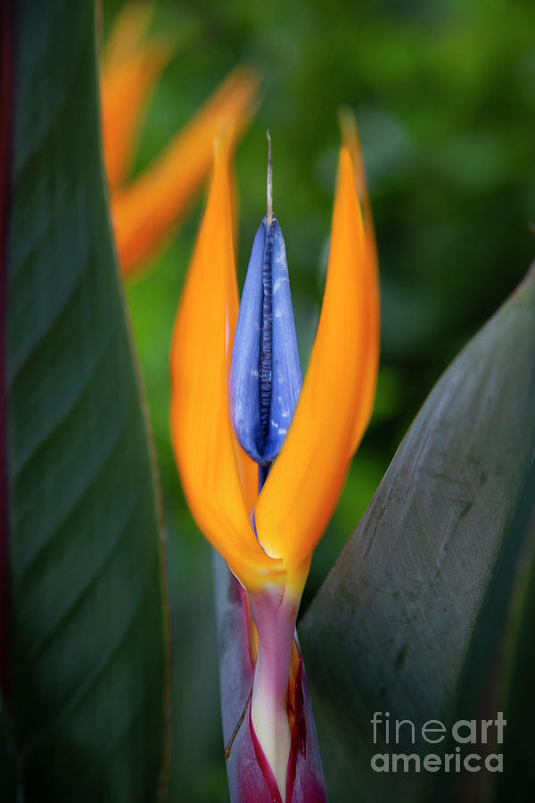 Bird of Paradise by Brian Jannsen