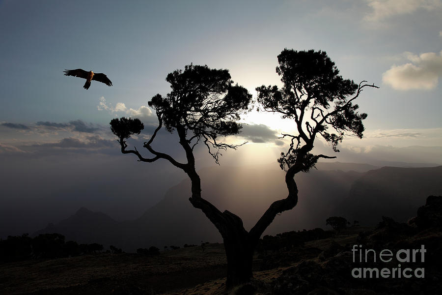 Bird Of Prey At Sunrise, Simien Photograph by Tim E White