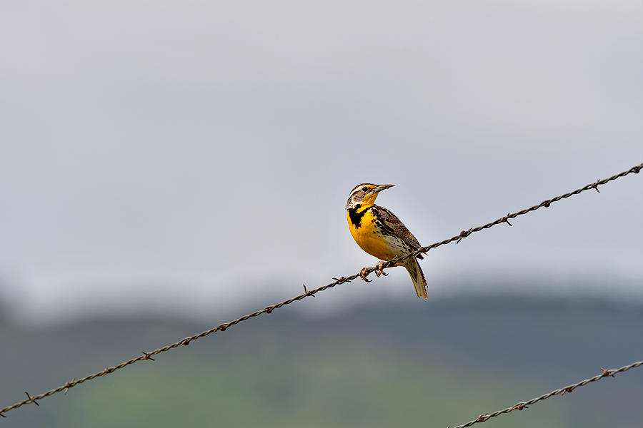 Bird On A Wire by Michael Morse