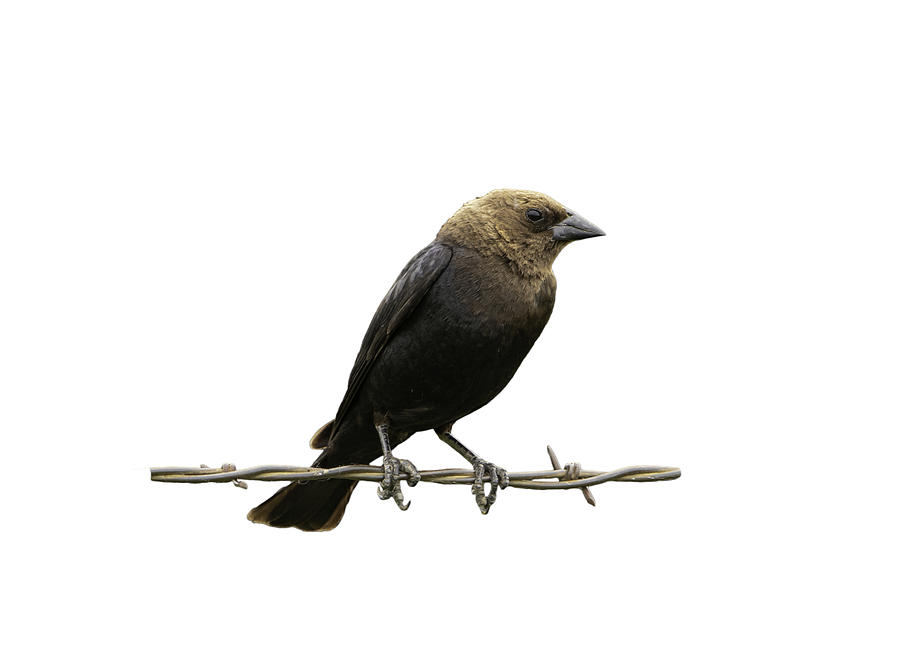 Bird on Wire Brown Headed Cowbird by Jeff Phillippi