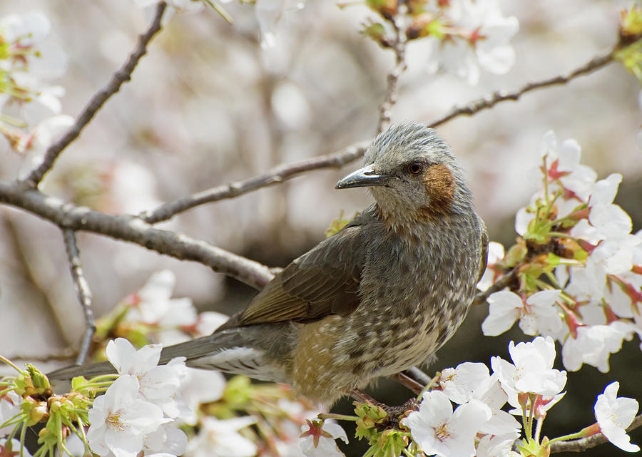 Bird Perched Among Cherry Blossoms Photograph by Philippe Widling / Design Pics