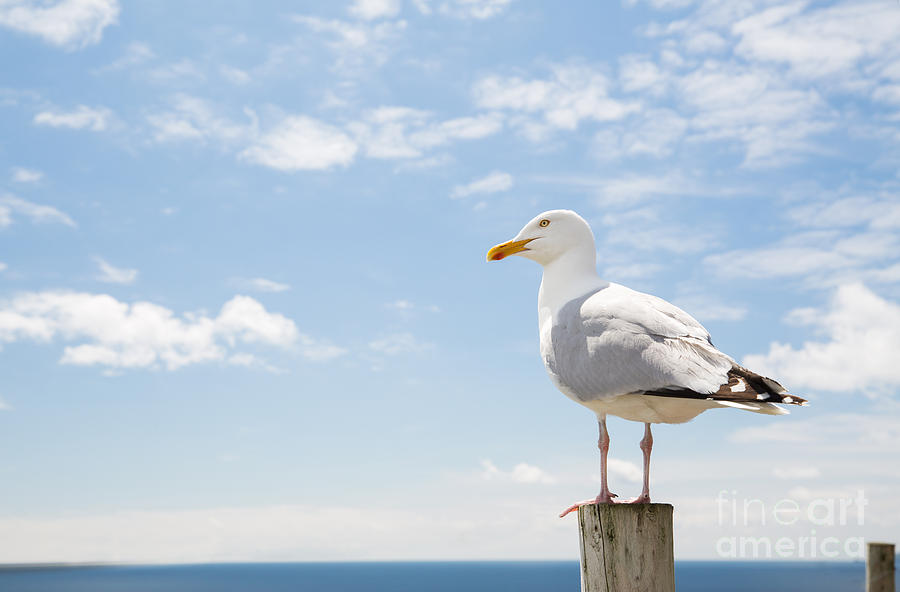 Blank Photograph - Birds And Wildlife Concept - Seagull On by Syda Productions