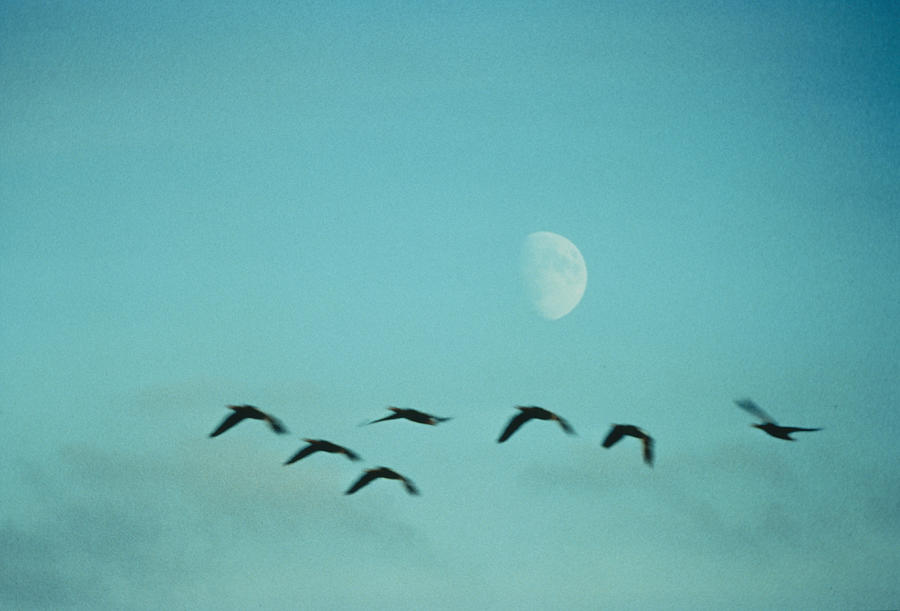 Birds By Moon Photograph by Geoff Du Feu